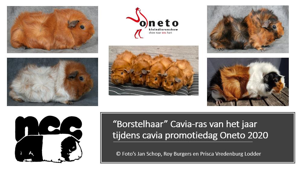 """""""Borstelhaar"""" Cavia-ras van het jaar tijdens cavia promotiedag Oneto 2020"""